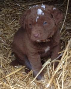 puppies 7 weeks 012